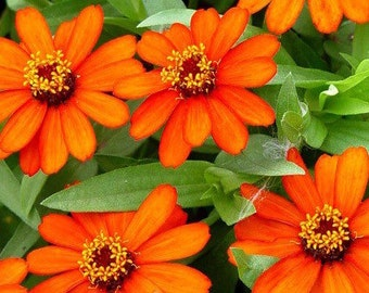 Garden 75 orange zinnia profusion flower seeds - 75 flowers zinnia Orange profusions for garden seeds