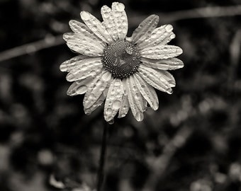 Flower Photography, Wildflower, Summer, Nature, Fine Art Black and White Photography, Wall Art, Home Decor