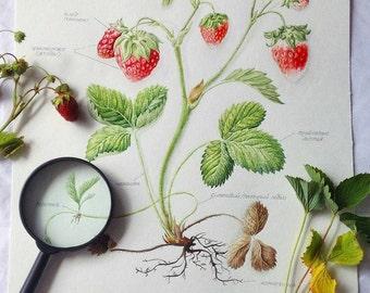 Watercolor botanical illustration of fragola.