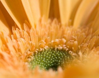 Yellow Gerber daisy, flower macro photography, fine art print, floral home decor, nature wall art, spring photography, energy, close up