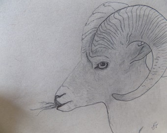 The Big Horned Sheep