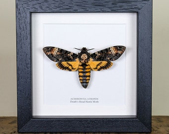 Deaths Head Hawk Moth in Black or White Box Frame (Acherontia atropos) Real Butterfly Frame