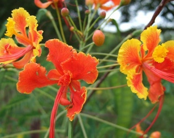 Mexican Red Bird Of Paradise Seeds - Buy One Get One Free + Free Shipping