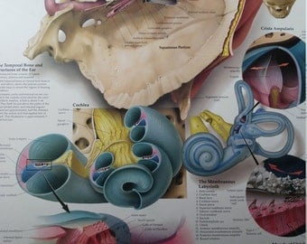 Vintage medical poster anatomy of the inner ear