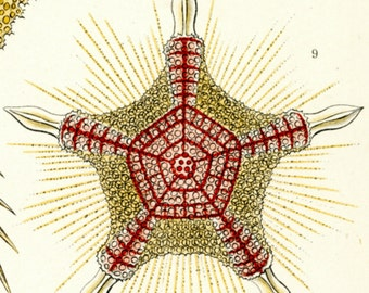 Marine Biology, Microscopic Art, Microscopic Biology, Biology Art, Marine Art, Biology Marine, Art Marine, Marine Biology Art, Ernst Haeckel