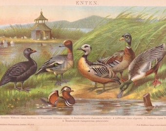 ANTIQUE DUCK PRINT from 1890