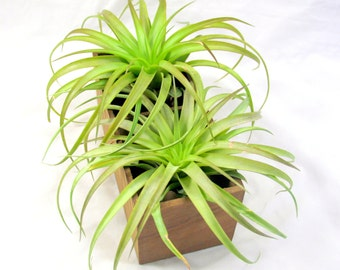 Wooden Crate Double Slotted Air Plants/Succulent Planter
