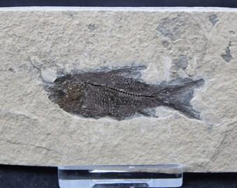 Fish Fossil Extinct Jianghanichthys Genus Specimen FIS3