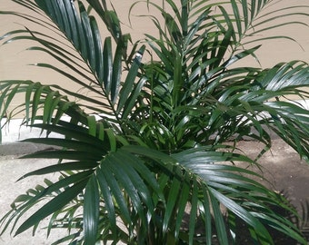 Areca Palm Dypsis lutescens Plant in 10 inch pot - About 42 inches tall