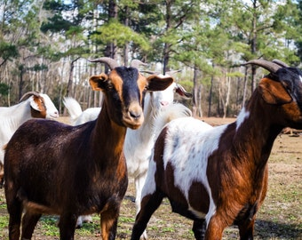 Animal Photography Brown and White Goats Print