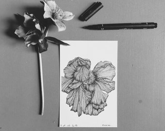 Peony - Flowers botanical - illustrated post card - drawing by hand - numbered-limited - edition monocot