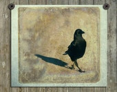 Corvidae, Crow Image, Nature Art Image, Bird Photograph, Walking Blackbird, Minimalist Picture, Common Crow - Strutting His Stuff
