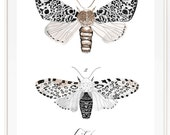 Lepidoptera Vol.3 - Scientific illustration. Beautifully textured cotton canvas art print. Order as a 5x7 8x10 11x14 or 16x20 size.