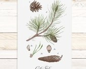 Conifer Study 2 - Quartz Collection / Watercolor botanical wall hanging, wood trim art. Scientific Canvas Posters Chart Vol.2 More Options