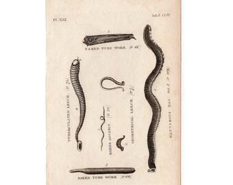1812 SEA WORMS & LEECHES original antique sea life ocean engraving -