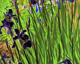 Dark Irises PhotoArt Print 8x10