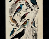 1850 Antique EXOTIC BIRDS print, hoopoe, kingfisher, 166 years old hand colored engraving.