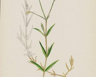 1873 Antique BOTANICAL print, vintage botanical, yellow flower art print, plants and herbs, original vintage lithograph. Lesser Stichwort