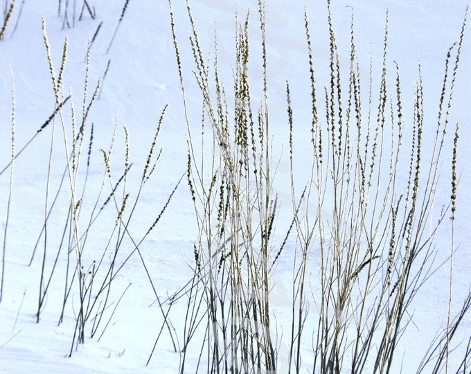 Winter Grass, Snow, Wheat, Wild Grass, Fine Art Photography, Greeting Card, Delicate, Minimalist, Gift Idea, 4x6, 5x7, 8x10, Greeting Card
