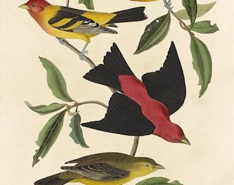 John James Audubon Reproductions -  Louisiana Tanager and Scarlet Tanager, 1837. Fine Art Print.