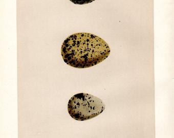 Antique Egg Print 3 Eggs Morris Plover Kitchen Decor Vintage Bird Illustration c.1892