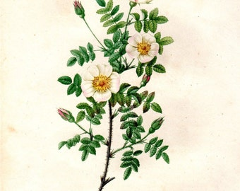 1824 Redoute Rose White 1st Octavo Edition Rosier Marienbourg Vintage Botanical  Antique Botanical Print