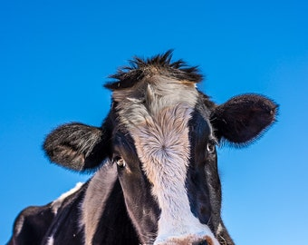 Safran Steer, Farm Animal Rescue Cattle Portrait Photography