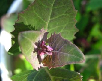 Green Orach (Atriplex hortensis) - Organic Vegetable Seeds 1 Gram