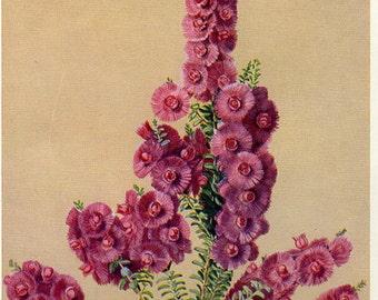 Antique Print, FLOWERING AUSTRALIAN PLANTS, chart 92 1930 beautiful wall art vintage color lithograph illustration wild flowers floral