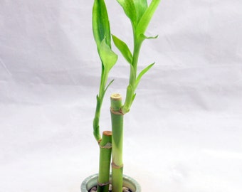 Small Two Piece Lucky Bamboo Plant in Blue and White Chinese Vase