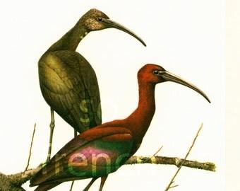 1961 Vintage Glossy Ibis Print Wading Bird Shorebirds Illustration Drawing Wall Art home decor