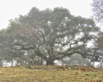 Winter California Oak