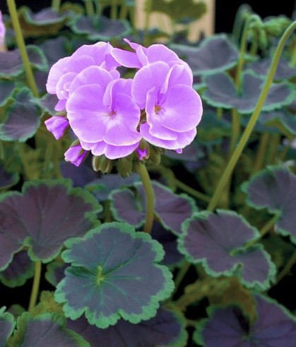 how to get seeds from geraniums