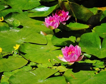 Wall art, Water Lilies, Japanese garden, Lily pads, pond flower photo, 8 x 10 or CUSTOM, fine art, home decor, ENLARGEMENTS, turtlesandpeace