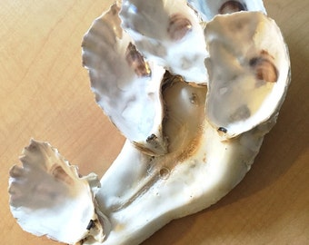 Oyster Sea Shell Cluster 12 inches Clean No Smell Decor Craft Aquarium