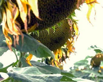 Sunflowers, photograph, sunflower, photographs, scenery, flower photography, fine art photography, wall art pictures, Nature photography,