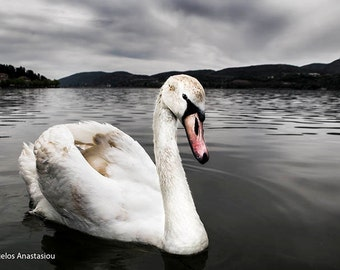 Landscape Photography, Swan In The Lake, Greece Nature, Kastoria