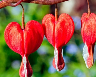 Bleeding Heart Seeds - RED - Elegance to Any Shade Garden * Heirloom *10 Seeds