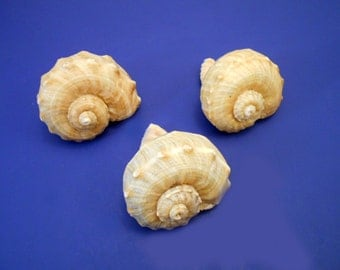 "3 Large Rapana Whelk Shells Seashells 3"" Sea Shell Hermit Crab Beach Nautical"