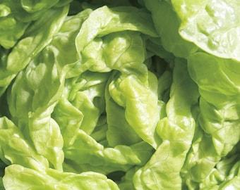 """Leaf Lettuce """"Tom Thumb"""" ( 1000=>64,000 seeds) butterhead vegetable bulk #299"""