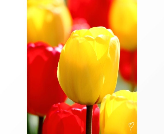 Yellow Wall Art, flower photography red and yellow tulips photographs floral photography red wall art flower art - Yellow and Red Tulips