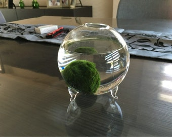 Desktop Decoration- Marimo Aquarium kit with footed glass vase,15mm aquatic living moss ball