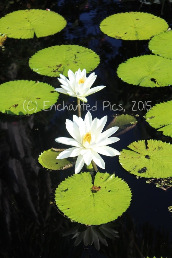 Botanical Photography: White Water Lilies- nature photography, floral, flower, garden, water lily, pond, lily pad, white