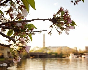 Cherry Blossoms in Washington, DC, Cherry Blossom Festival, Cherry Blossom Tree in front of National Monument, Nature Photography