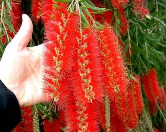 Callistemon Viminalis 500-10,000 Seeds, Weeping Bottle Brush Tree, Ornamental Bonsai