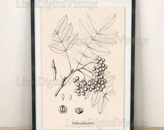 Rowan, Printable digital art, Mountain ash, Art print, Ash tree, Vintage botanical print, Antique tree print, Berry print, Download, PNG JPG