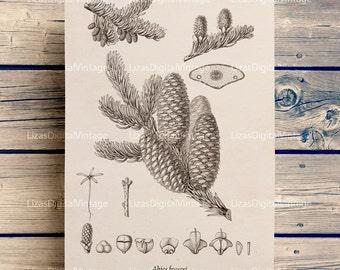 Vintage prints, Botanical chart, Botanical print, Instant download print, Fraser fir (Abies fraseri), Conifer, Fir print, PNG JPG 300dpi