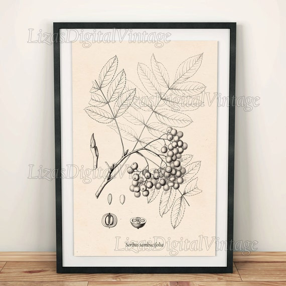 Rowan, Printable digital art, Mountain ash, Art print, Ash tree, Vintage botanical print, Antique tree print, Berry print, Download, PNG JPG
