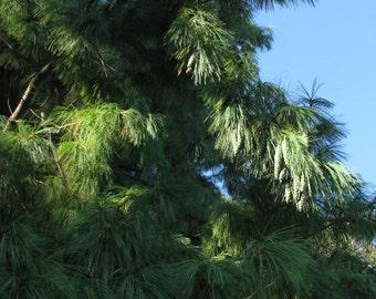 5 à 25 seeds of Pinus wallichiana - Himalayan weeping pine