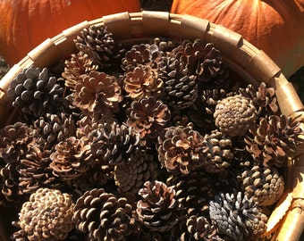 "Pinecones (1.5""-2"" ) from Vermont qty.22"